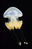 Australian Spotted Jellyfish Stock Image