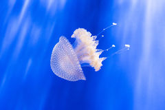 Australian spotted jellyfish, phyllorhiza punctata, in an aquarium Stock Photography