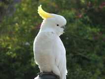 Australian Sulphar Crested Cockatoo Stock Photo