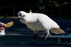 Australian Sulphur-crested Cockatoo being fed a cracker. Cacatu. Australian Sulphur-crested Cockatoo Cacatua galerita, eating a cracker/biscuit standing on a Royalty Free Stock Image