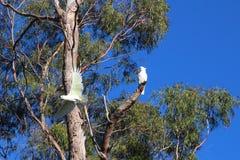 Australian Sulphur-crested cockatoos in a eucalyptus tree stock photos