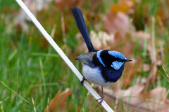 Australian Superb Fairywren Royalty Free Stock Images