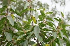 Australian Sweet Sandpaper Fig Stock Image