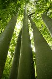 Australian tall trees green nature. Australian tall trees Brachychiton discolor Muell Stock Photo