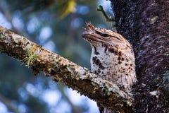 Australian Tawny Frogmouth Royalty Free Stock Photos