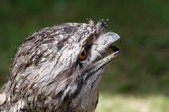 Australian Tawny Frogmouth bird Stock Image