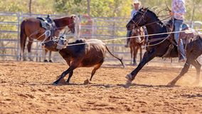 Australian Team Calf Roping Rodeo Event royalty free stock photos