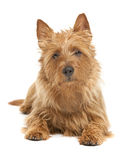 Australian terrier Stock Photo