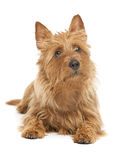Australian terrier Stock Photo
