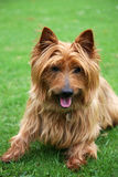 Australian Terrier. Cute Australian Terrier laying on the grass Stock Image