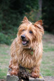 Australian Terrier. Cute Australian Terrier sitting on a bench Royalty Free Stock Images