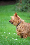 Australian Terrier. Standing in a green meadow Stock Images