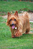 Australian Terrier. Taking a walk in the countryside Stock Photo