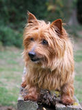 Australian Terrier. Cute Australian Terrier standing on a wooden bench stock photo