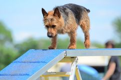 Australian Terrier at a Dog Agility Trial Royalty Free Stock Image