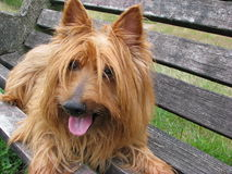 Australian Terrier dog close-up Royalty Free Stock Photo
