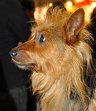Australian Terrier dog Stock Photo