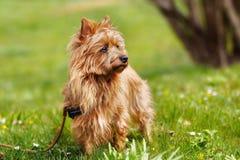 Australian Terrier. Pured Australian Terrier dog outside on grass during spring/summer time Stock Photos