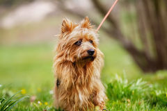 Australian Terrier. Pured Australian Terrier dog outside on grass during spring/summer time Royalty Free Stock Photos