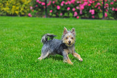 Australian Terrier runing in grass Stock Image