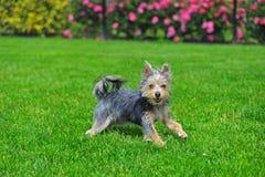 Australian Terrier runing in grass stock image