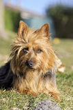Australian Terrier Royalty Free Stock Images