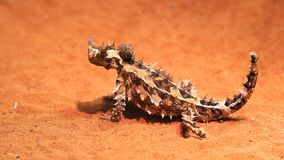 Australian thorny dragon turns its head and looks around