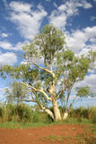 Australian tree. Growing on a red dirt Royalty Free Stock Photo