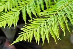 Australian tree fern Stock Photography