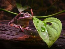 Australian tree frog. Popular terrarium frog sitting on a tree Royalty Free Stock Photo