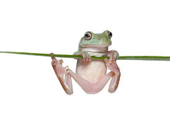 Australian Tree Frog Royalty Free Stock Images