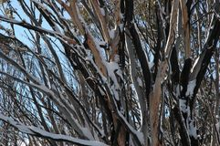 Australian trees in the snow. A close up of snow covered trees in the Australian bush. The branches are tangled. The sun is shining and the sky is blue Royalty Free Stock Image