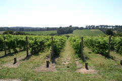 Australian vineyard stock photo