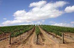 Australian vineyard. Vineyard in the Australian Barossa Valley - young grape-vine stock photos