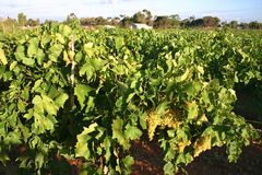 Australian vineyard. Vine leaves with grapes in Australian vineyard. Mildura, Victoria. Australia Royalty Free Stock Photos