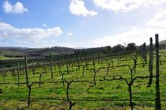 Australian Vineyard in August Stock Photo