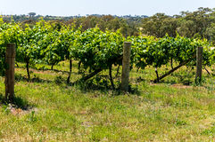 Australian vineyard landscape Stock Image
