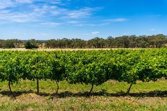 Australian vineyard with rural nature background Stock Photos