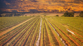 Australian vineyard at sunset Royalty Free Stock Images