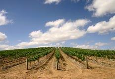 Australian vineyard - wide view. Vineyard in the Australian Barossa Valley - young vines stock photography
