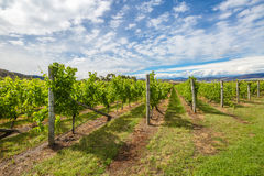 Australian Vineyards Royalty Free Stock Photography