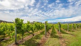 Australian vineyards cinemagraph. Australian vineyards in the area between Richmond, Cambridge and Hobart in Tasmania, Australia. Loop cinemagraph background stock video