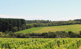 Australian vineyards. Rich vineyards at Mornington Peninsula, Australia stock images