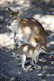 Australian Wallaby Stock Photo