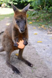 Australian wallaby feeding on a biscuit. A captive Australian wallaby feeding on a biscuit. Wallabys are marsupials which means they are mammals which carry Stock Photography