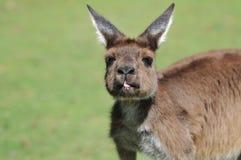 Australian wallaby. Wallaby looking straight at the camera Royalty Free Stock Photos