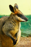 Australian wallaby. Portrait shot of an australian wallaby. Side view stock photography