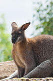 Australian Wallaby Royalty Free Stock Image