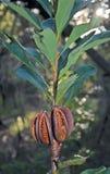Australian Waratah seed pods. Australian Waratah (Telopea speciosissima) seed pods, Royal National Park, Sydney Royalty Free Stock Photography