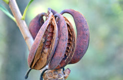 Australian Waratah seed pods. Australian Waratah (Telopea speciosissima) seed pods, Royal National Park, Sydney Stock Photos